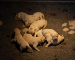 De pups 1 week oud
