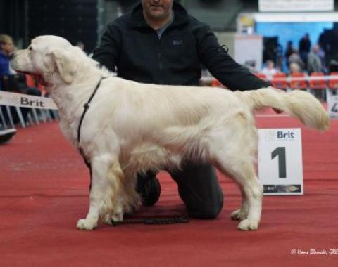 Ramchaine Vanguard Golden Retriever